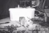 """Chú chuột tốt bụng bí mật """"dọn đồ"""" cho chủ nhà mỗi đêm"""