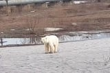 Gấu Bắc Cực đi lạc hàng trăm km đến khu công nghiệp tìm thức ăn