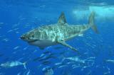 Vắc-xin COVID-19 có thể giết chết nửa triệu con cá mập