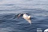 """Cá heo mẹ """"tuyệt thực"""" nhiều ngày, buồn bã đẩy xác con trên biển"""