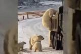 10 con gấu Bắc Cực bao vây xe chở rác ở Nga